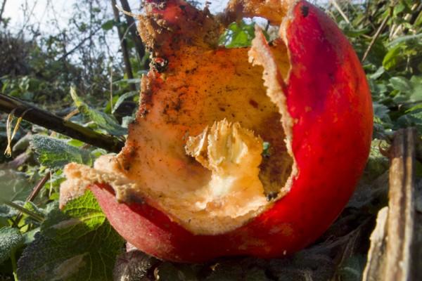 gefundener Apfel