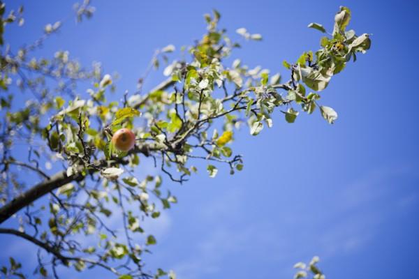 letzter Apfel am Baum