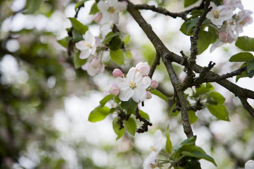#anappleaday – 21.04.2014 – Apfelblüte