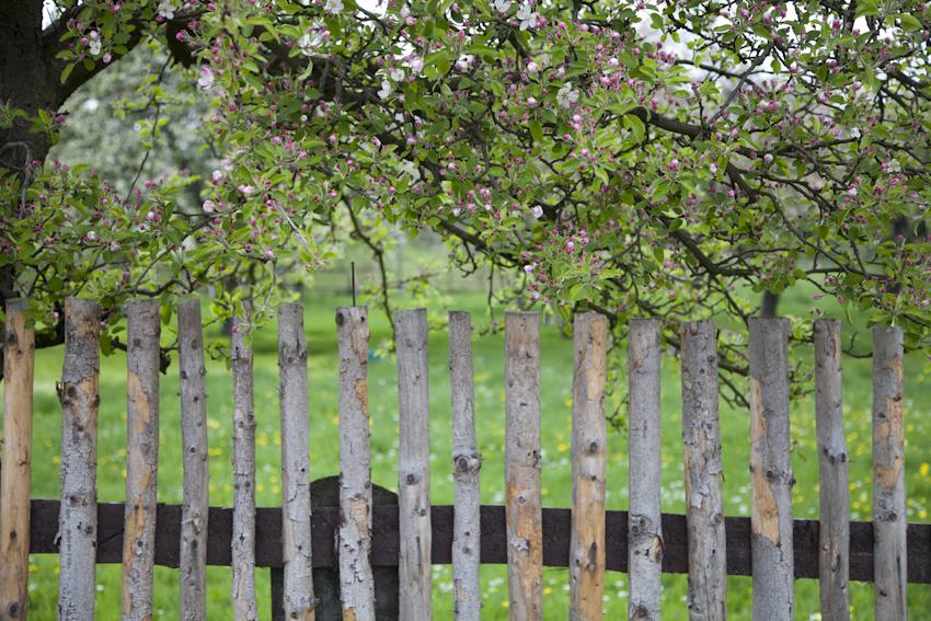 #anappleaday – 01.05.2014 – zarte Apfelblüten am Zaun
