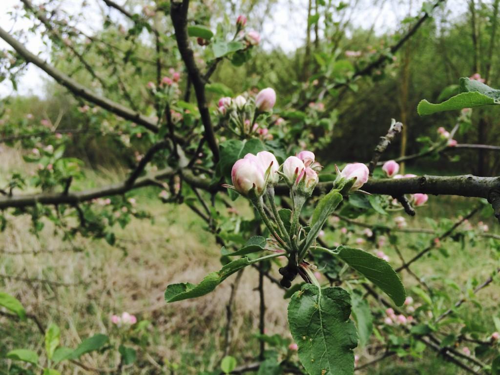 #anappleaday – 09.06.2015 – Frühlingserinnerungen
